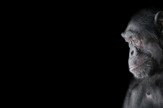 Chimpanzee - Shutterstock
