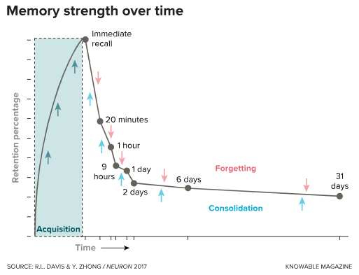 A graph conceived by the 19th century German psychologist Hermann Ebbinghaus quantified the decay of memory over time. Modern researchers use this graph to illustrate the competition between memory strengthening (or consolidation, blue arrows) and processes that degrade and weaken memories (forgetting, pink arrows). In this example, recall is strong (a peak percentage is retained) after about two days of acquiring a memory. Afterwards the memory rapidly decays for about two days and then begins to stabilize as consolidation balances forgetting.
