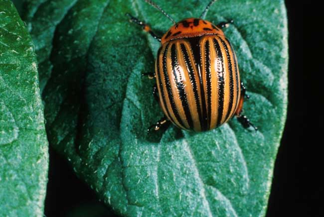 colorado-potato-beetles-1.jpg