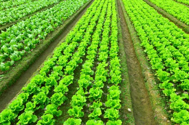 Lettuce Field - Shutterstock