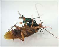 Waspcockroach.jpg