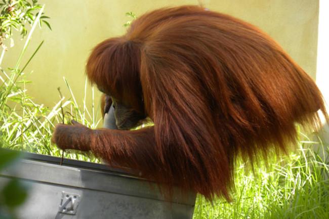 Orangutan_tool_stickfishing.jpg