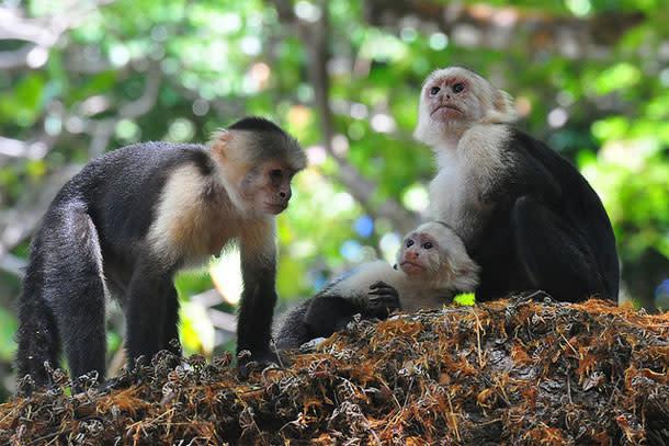 Capuchins.jpg