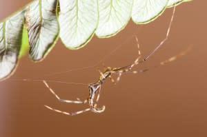 Dark-stick-spider-Ariamnes-makue-ecomorph-from-Oahu-CREDIT-George-Roderick-300x199.jpg