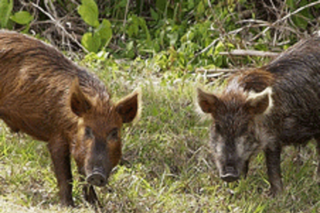 800px-Wild_Pig_KSC02pd08731.png