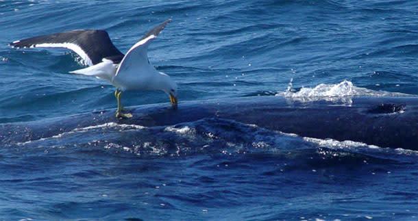 Gull_attacks_whale.jpg