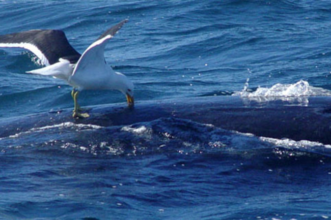 Gull_attacks_whale.jpg