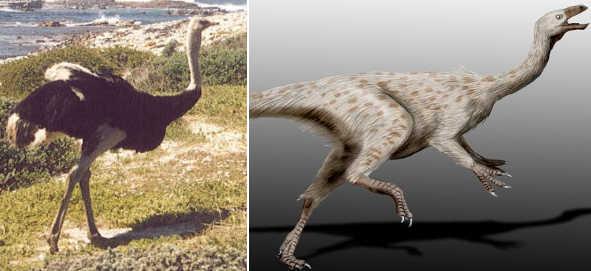 800px-Ostrich_SA2.jpg
