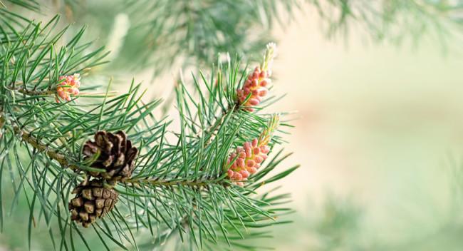 Pine cone and needles