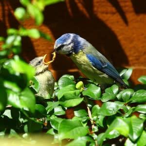blue_tit_feeding1-300x300.jpg