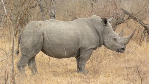 Rhinoside.jpg