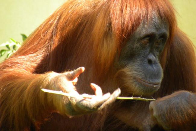 Orangutan_tool.jpg