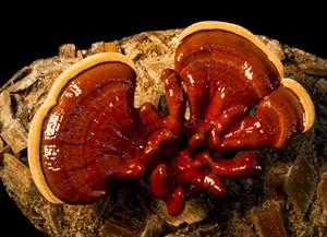 reishi mushrooms - Stuart Isett