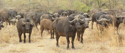 Buffalo_herd.jpg