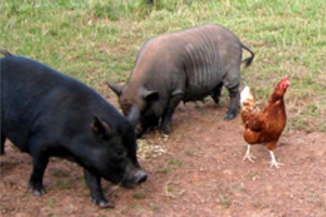 pigs-and-chicken.jpg