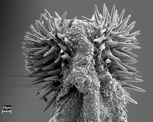 Seed-beetle-penis2.jpg