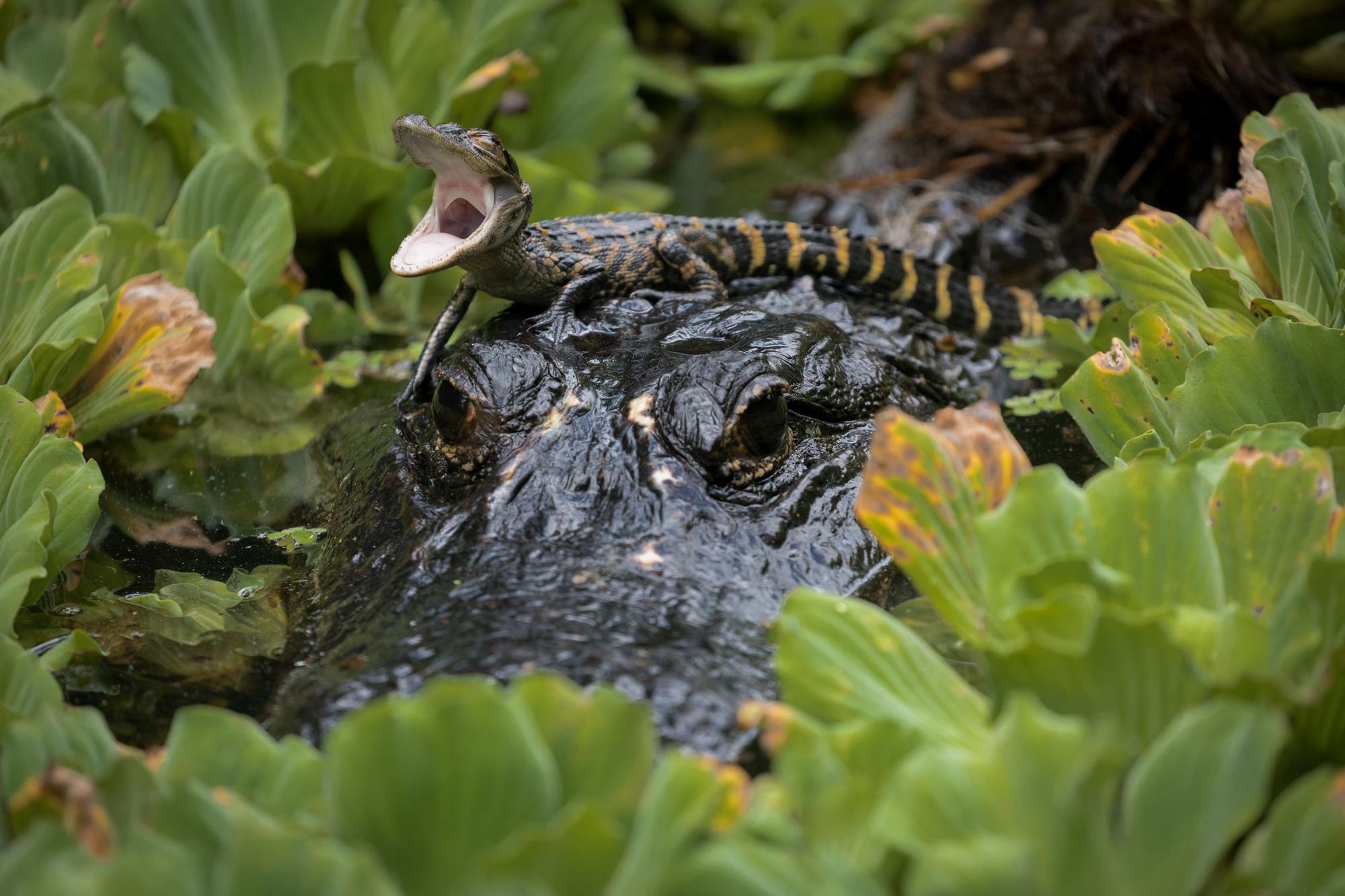 Baby American Alligator