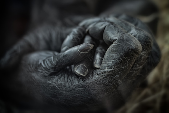 mother gorilla holding baby hand animal grief mourn - shutterstock