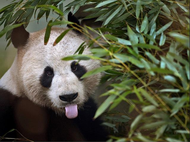 panda-tongue.jpg