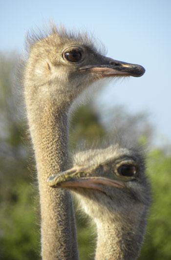 Ostrich_couple.jpg