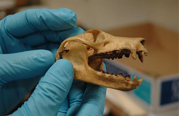 Fruit-bat-skull.jpg