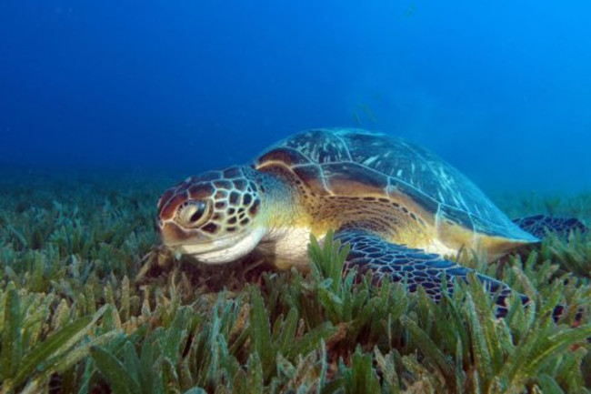 what are green sea turtles diet