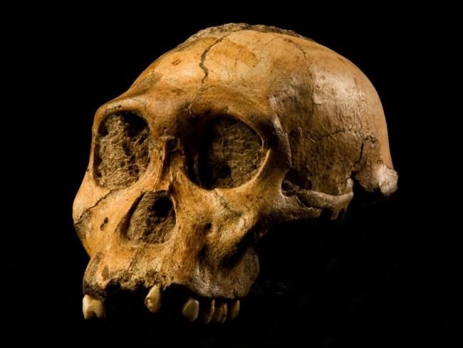 Australopithecus sediba Skull - Brett Eloff, courtesy Berger/Wits University,CC BY-SA