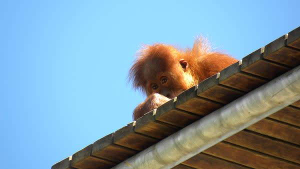 Orangutan_baby_peering.jpg