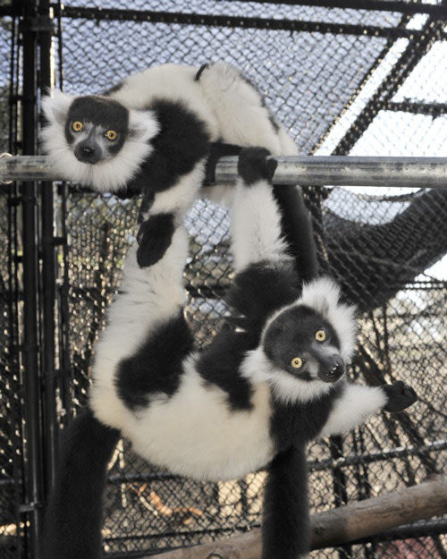 two-lemurs.jpg