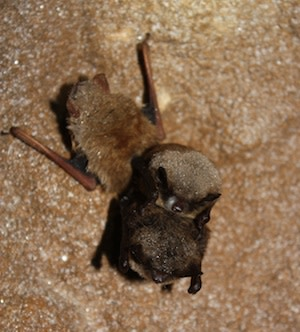 0713LittleBrownBats_300.jpg