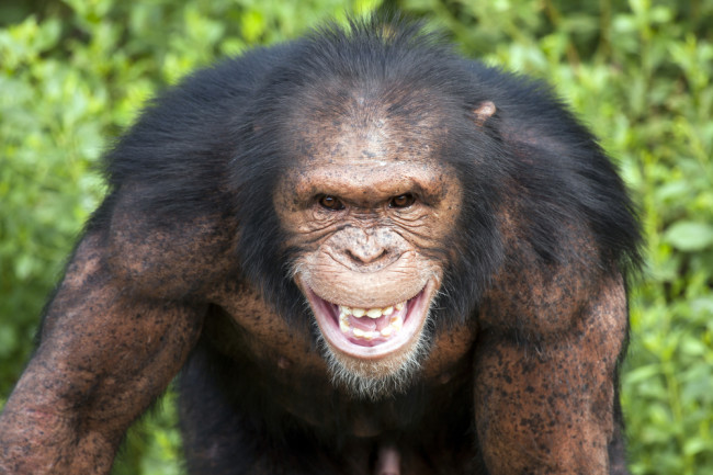 evil looking chimp - shutterstock