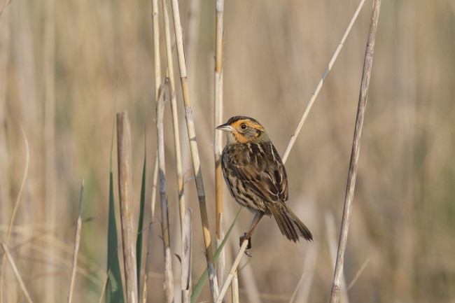 saltmarsh-sparrow.jpg