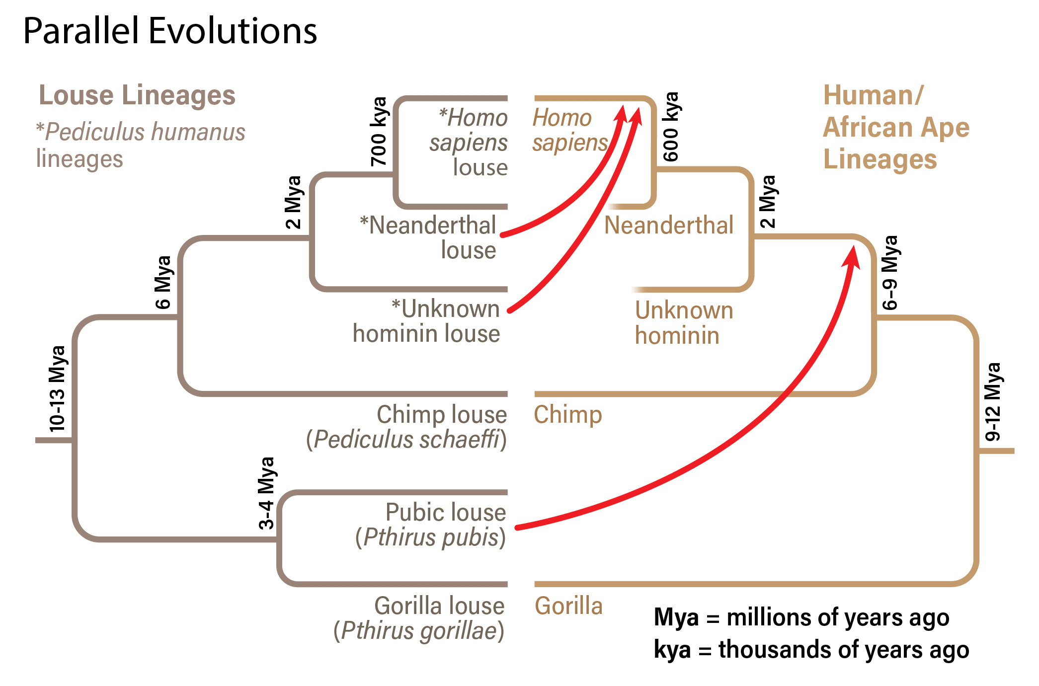 Parallel Evolution of Lice and Apes - Mackey/Discover