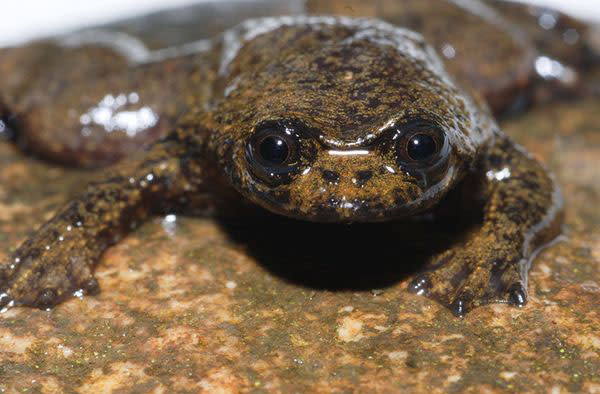 borneo-lungless-frog_19335_.jpg