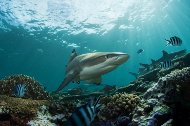 shark_fiji.jpg