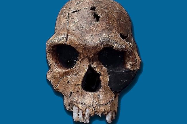 Homo Habilis Skull - Wikimedia Commons