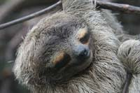 Sleeping-Sloth.jpg