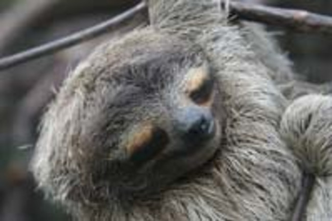 Sleeping-Sloth.jpg