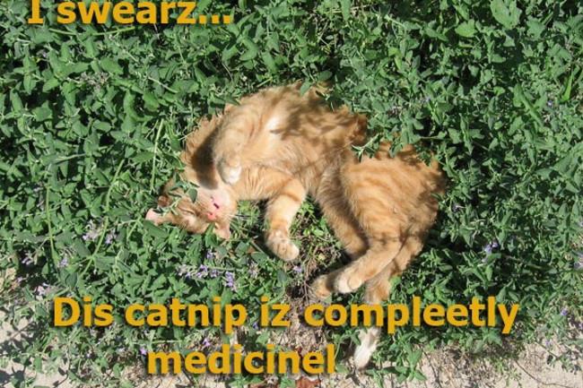 catnip-cat.jpg