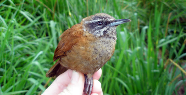 Plain_tailed_wren.jpg