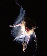 Bat_vs_moth.jpg