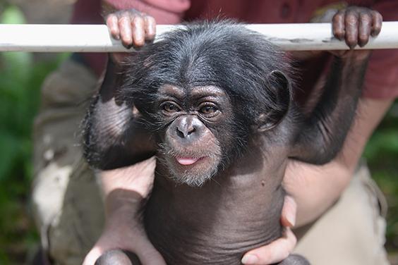 primates-chimp-keeva-3-may-5-2015.jpg