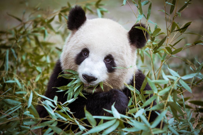 giant panda eats a diet of bamboo