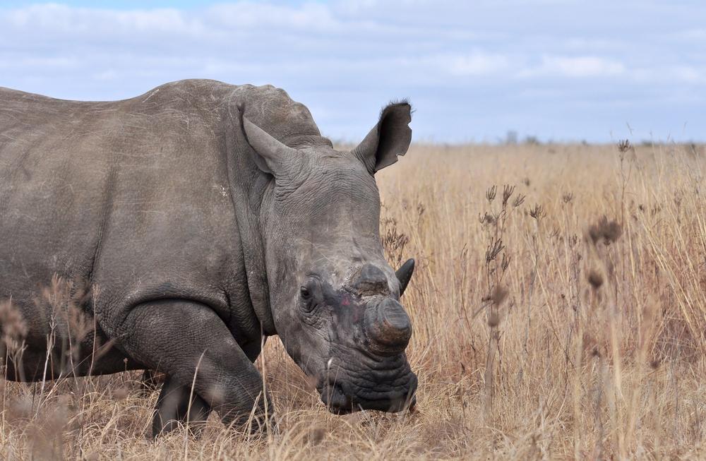rhino-dehorned.jpg