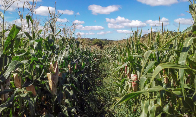 Nitrogen-Corn.jpg