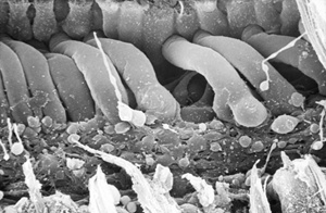 Inner Ear Hairs - Science Source