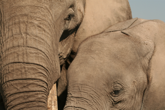 A close-up of an elephant mother and her daughter. (Credit: Graeme Shannon:Shutterstock)