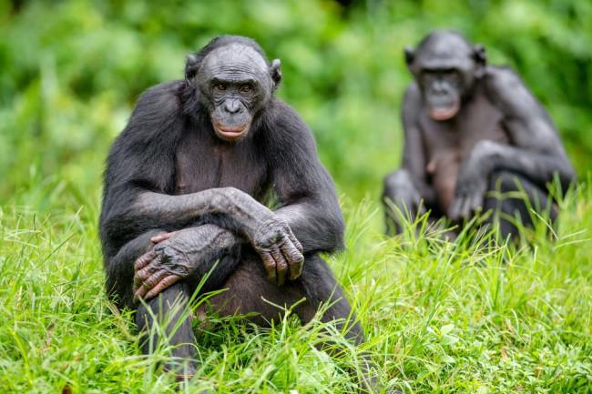 bonobosharinghumanevolution.jpg