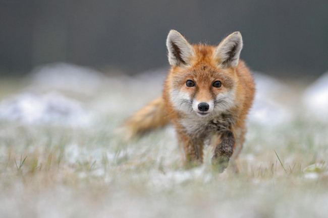 How a Russian Scientist Bred the First Domesticated Foxes