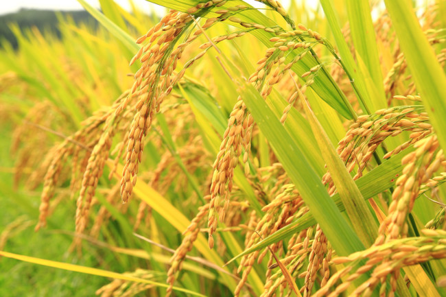 golden-rice.jpg